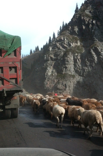 Xingjiang_fat_ass_sheep_blocking_road