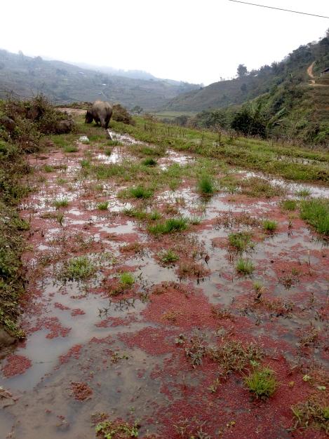 Vietnam_Sapa_buffalo_rice_field