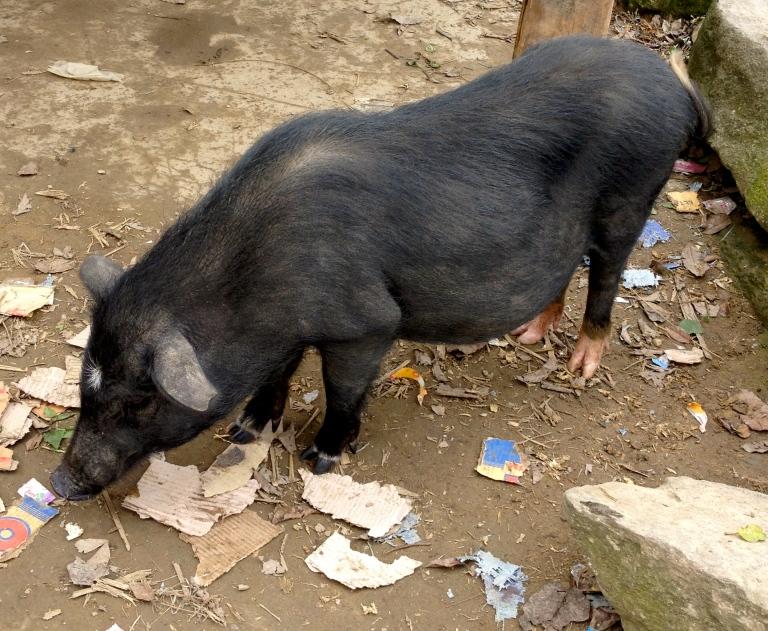 Vietnam_Sapa_pink_feet_pig