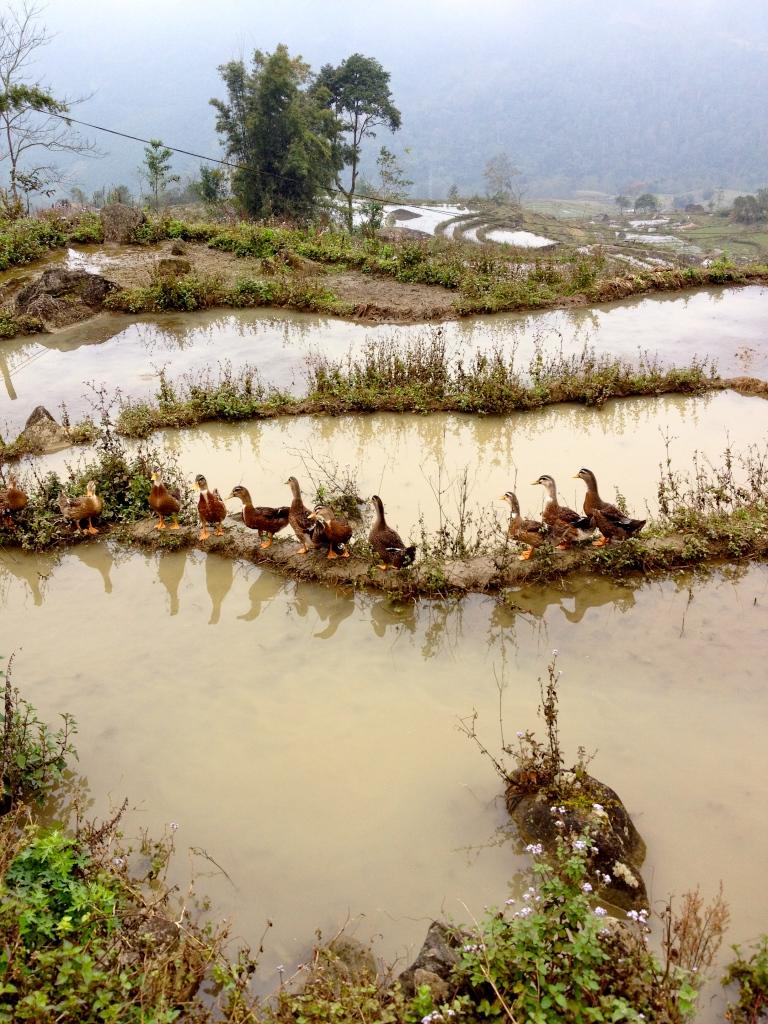 Vietnam_Sapa_ducks_rice_field