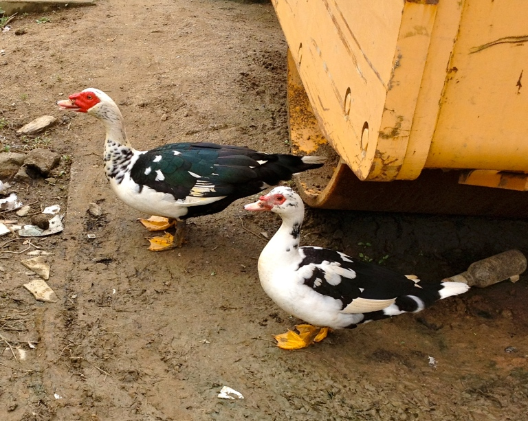 Vietnam_Sapa_colorful_ducks