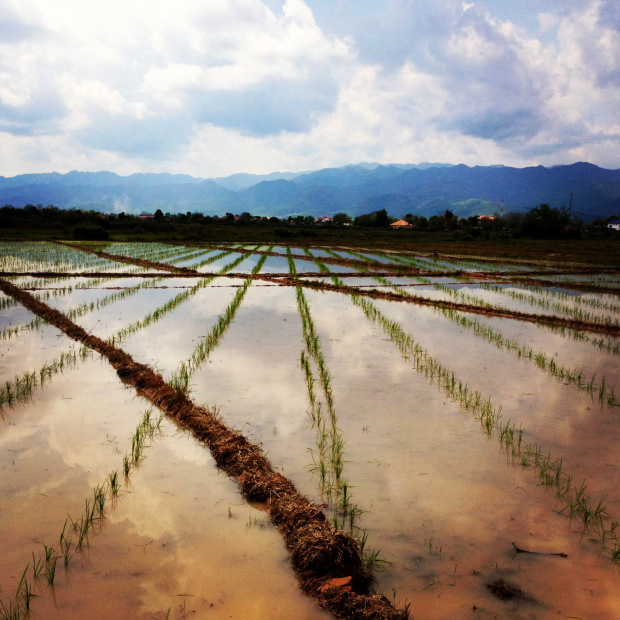Laos_Luang_Namtha_Beer_rice_field